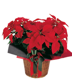 send Xmas Flower to china