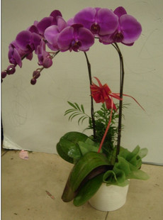 send butterfly orchids to china